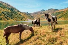 Horses-on-Alpine-Pasture
