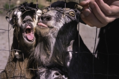 Hungry-Goats