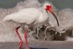 Ibis-ulrike-unterbruner