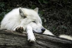 Polar-Wolf-Siesta