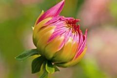 Bud of Red Dahlia | UU-Fotografie – Ulrike Unterbruner