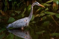 great-blue-heron-ulrike-unterbruner