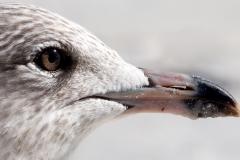 Young Seagull | UU-Fotografie – Ulrike Unterbruner