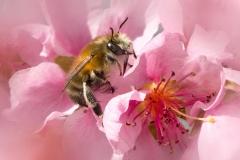 Wildbee on Peach Blossoms | UU-Fotografie – Ulrike Unterbruner