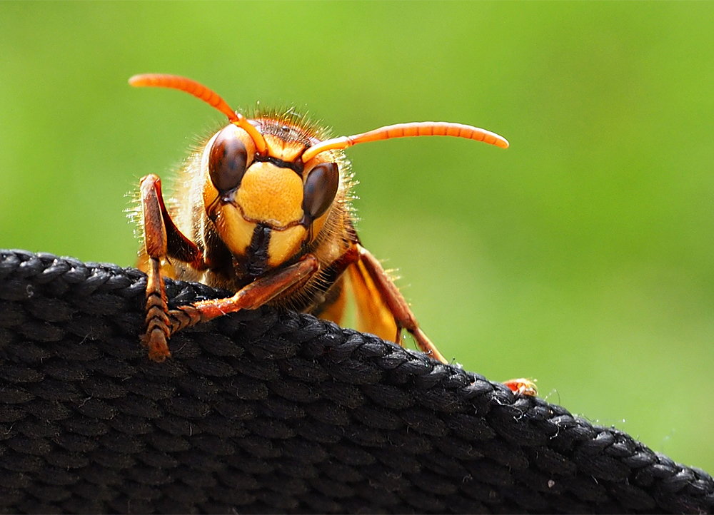 Hornet | UU-Fotografie – Ulrike Unterbruner