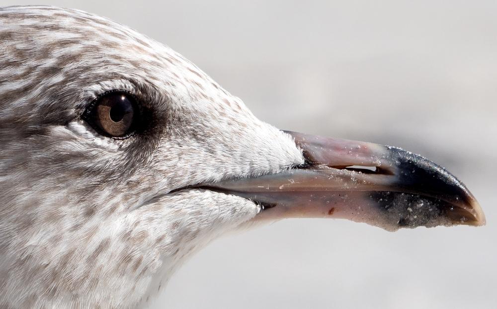Young Seagull   UU-Fotografie – Ulrike Unterbruner
