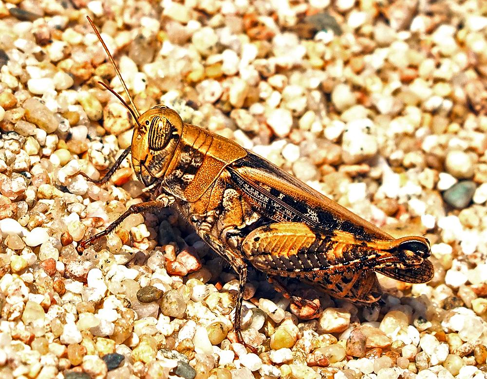 Sardinian Locust | UU-Fotografie – Ulrike Unterbruner