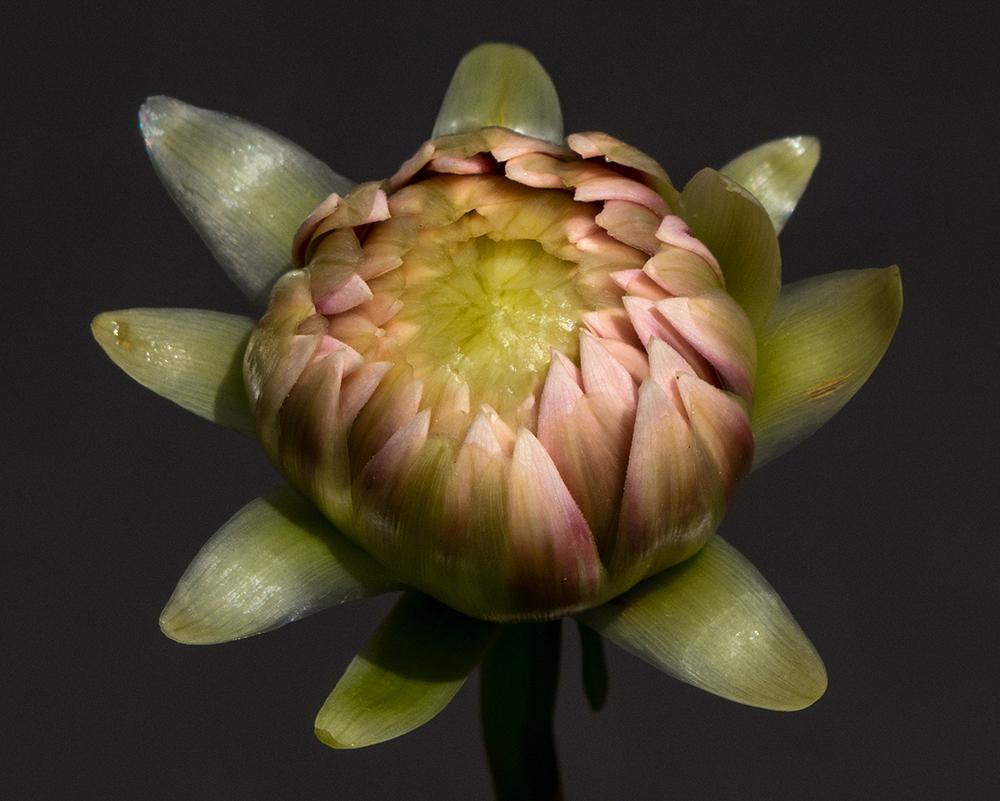 Tiny Bud of Dahlia   UU-Fotografie – Ulrike Unterbruner