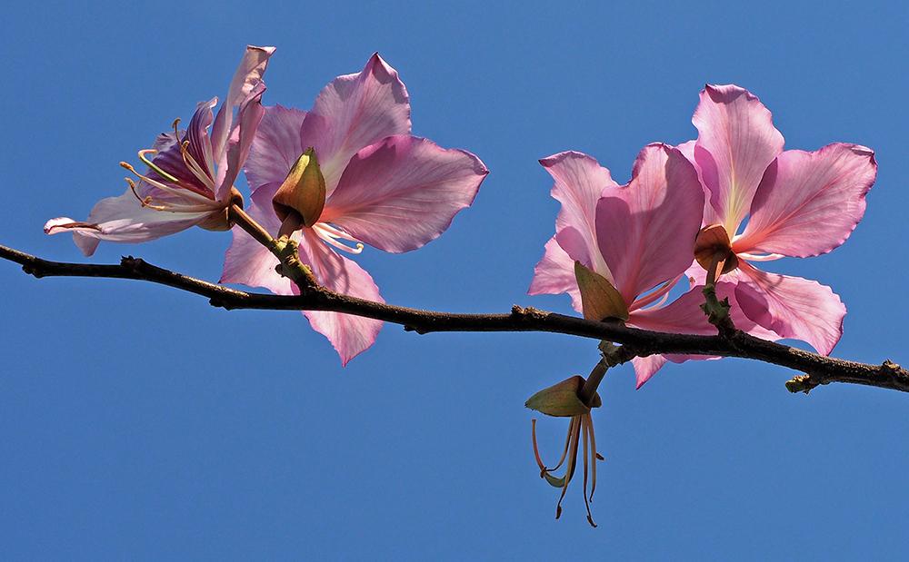 Pink Blossoms on Tree   UU-Fotografie – Ulrike Unterbruner