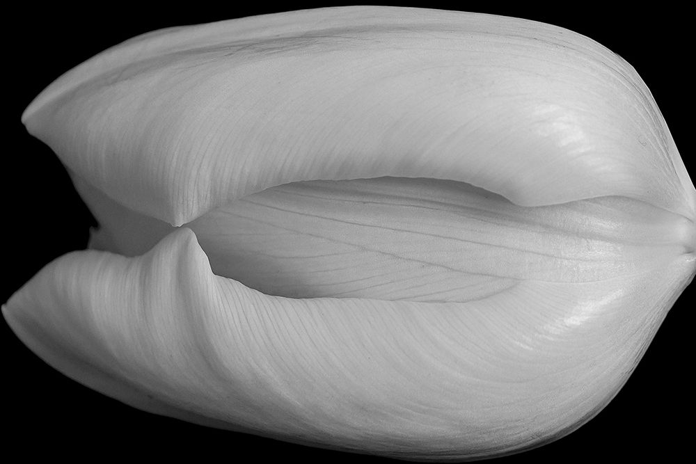 Smooth Tulip Petals   UU-Fotografie – Ulrike Unterbruner
