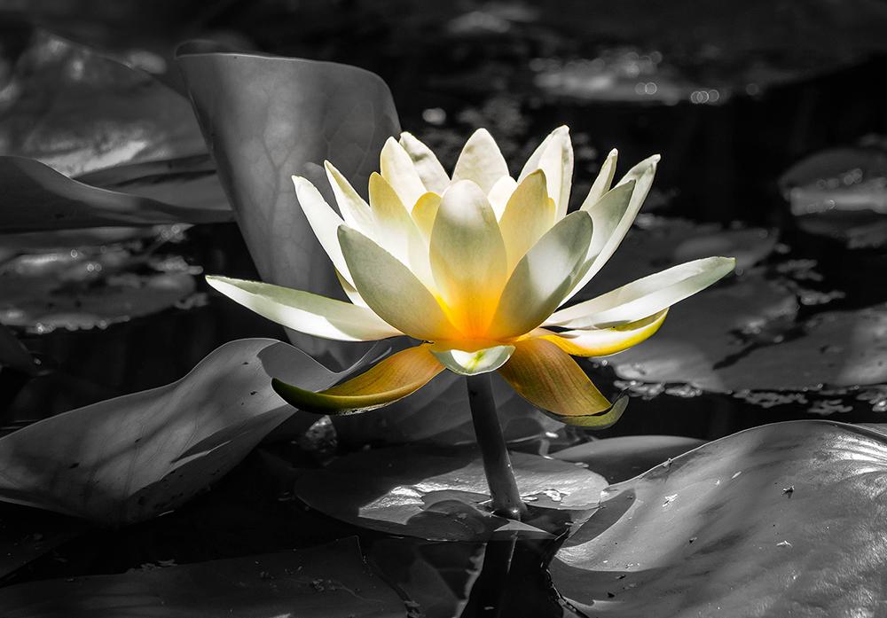 Waterlily   UU-Fotografie – Ulrike Unterbruner